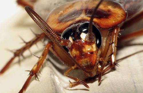 Exceptionnel Se débarrasser des cafards ou blattes - Désinsectisation  NU89