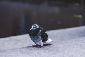 pigeons rats gentilly